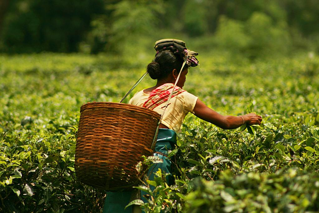 While Northeast States like Assam are famous for tea production, much of the region has been declared forestry and therefore land availability for solar could be a big challenge. Flickr: Akarsh Simha