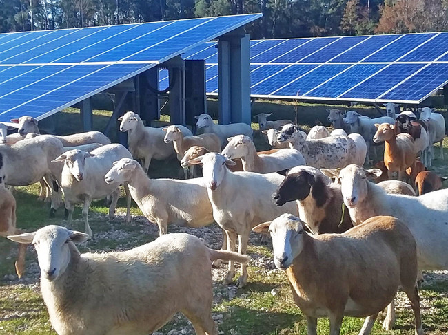 C2 Energy Capital first introduced a flock of sheep at its Jacksonville operation, which provides power to Florida's largest state utility, in 2018. Source: C2 Energy Capital