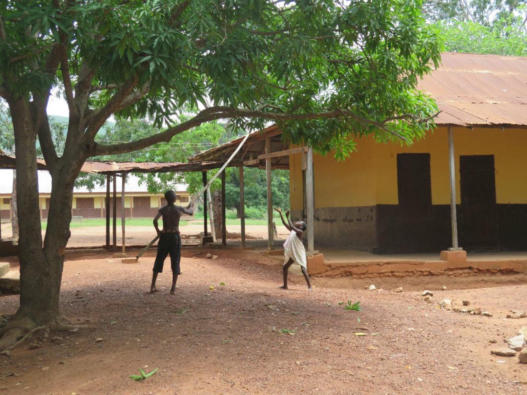 School children on the hunt for Mangoes at Dodowa DA school, Ghana.