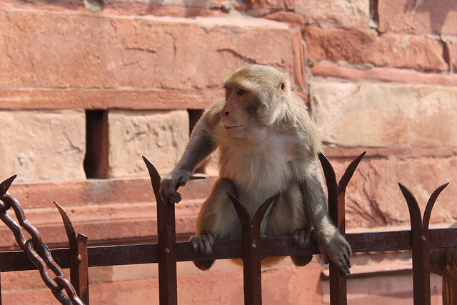 Monkey trouble is not the only quirk to India's ambitious solar expansion. Credit: Tom Kenning